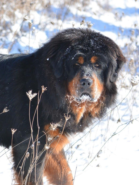 About Tibetan Mastiff