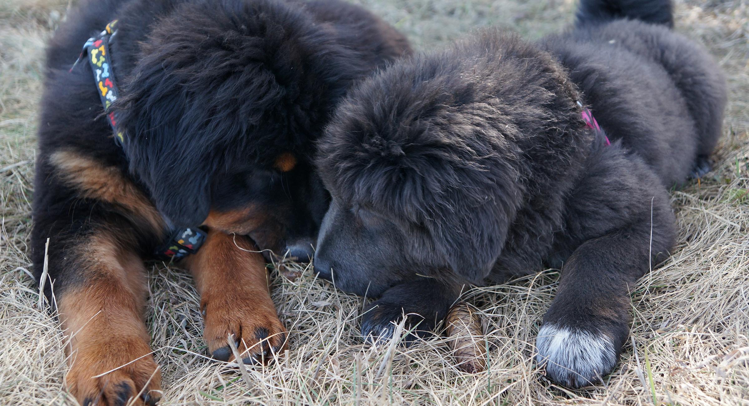 max-ruby-puppy