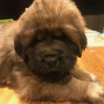 Boy Puppy Black at 6 weeks old