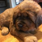 Boy Puppy Grey at 6 weeks old