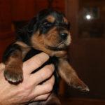 Boy Puppy 1 at 2 weeks old