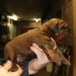 Boy Puppy 3 at 2 weeks old