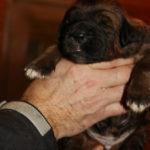 Boy Puppy 2 at 2 weeks old