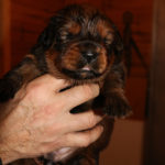 Girl Puppy 4 at 2 weeks old