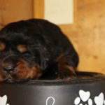 Girl Puppy 1 at 2 weeks old