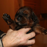 Girl Puppy 3 at 2 weeks old