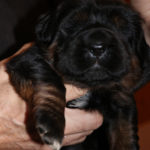 Girl Puppy 2 at 2 weeks old